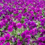 firld-of-flowers-purple